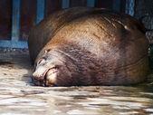 Sleeping northern sea lion — Stock Photo