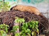 Marmota Bobak ao ar livre — Fotografia Stock