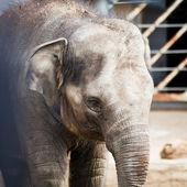 亚洲大象 — 图库照片