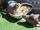 Raccoon and coypu — Stock Photo