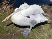 Sleeping Dalmatian Pelican — Stock Photo