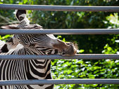 Zebra gnawing iron cage — Stock Photo