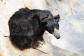 Indian sloth bear — Stock Photo