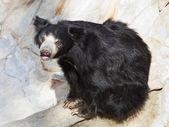 Indian sloth bear — Stock Photo