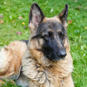 Long-haired German shepherd — Stock Photo