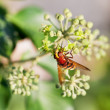 Flower fly volucella inanis on blossoms of ivy — Stock Photo