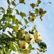 Ripe fruits of apple quince on tree — Stock Photo