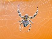 Üstten Görünüm örümcek, örümcek ağı — Stok fotoğraf