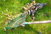 Cleaning green lawn from autumn leaves — Stock Photo