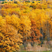 Yellow autumn forest — Foto de Stock