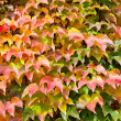 Stock Photo: Red, yellow, green leaves of ivy