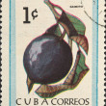 Постер, плакат: Tropical fruit Caimito