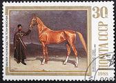Akhal-Teke horse — Stock Photo