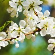 Twig of cherry blossoms close up — Stock Photo #45896735