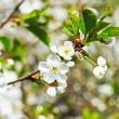 Sprig with white cherry blossoms — Stock Photo #45896793