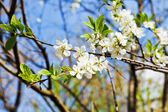 Sprig of blossoming cherry — Stock Photo