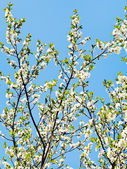 Many sprigs of blossoming cherry — Stock Photo
