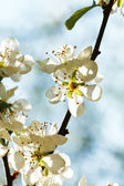 White cherry blossoms closeup in spring — Stock Photo