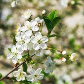 Sprig of flowering cherry in spring garden — Stock Photo