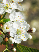 White flowers of blossoming cherry — Stock fotografie