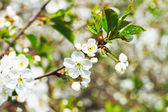 Sprig with white cherry blossoms — Stock Photo