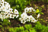 Sprig of cherry blossoms in spring forest — Stock Photo