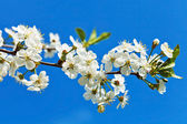 Twig of blossoming cherry on blue sky — Foto Stock