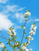 Few sprigs of cherry blossoms — Stock Photo