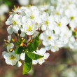White flowers on cherry tree twig close up — Stock Photo #45956841