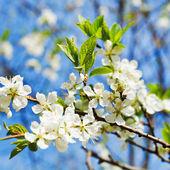 Ramo di ciliegio — Foto Stock