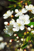 White flowers of cherry blossoms — Stock Photo