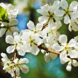 Sprig of cherry blossoms close up — Stock Photo #46078573