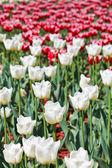 Wiele biało -czerwone tulipany dekoracyjne na kwietnik — Zdjęcie stockowe