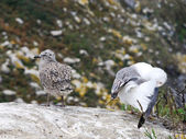 Gull chicks on Cies Islands in Atlantic, Spain — Stock Photo