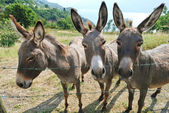 Three donkey on italian farm — Stock Photo