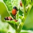 Potato bug larva eating potatoes leaves — Stock Photo #51412247