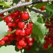 Many red currant berries close up in green bush — Stock Photo #51414509