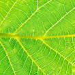 Natural background from green leaf of walnut tree — Stock Photo #51414523