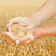 Rustic worker hands hold seeds on wheat field — Stock Photo #51414719