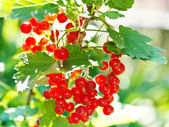 Bunch of red currant berries close up — Stock Photo