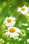 Ox-eye daisy flowers on green meadow — Stock Photo