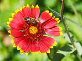 Bee gathers blossom pollen from gaillardia flower — Stock Photo