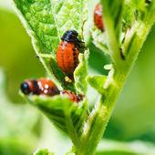 Potato bug larva eating potatoes leaves — Stock Photo