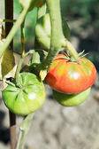 Few tomato on bush in garden — Stock Photo