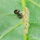 Ant pastures aphids group on leaf — Stock Photo