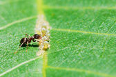 Ant collects honeydew from aphids herd on leaf — Stock Photo