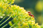 Two soldier beetles on yellow dill flowers — Stock Photo
