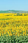 Sunflower field in hills in summer — Stock Photo