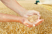 Peasant hands hold seeds on wheat field — Stock Photo