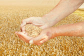 Rustic worker hands hold seeds on wheat field — Stock Photo